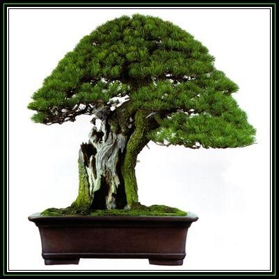170107121747_Pinus aristata Bonsai Main Pic1.jpg