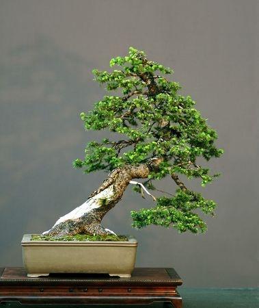 norway-spruce-picea-abies.jpg